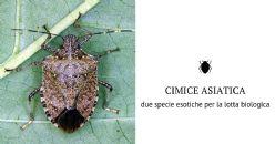 Cimice asiatica: FEM identifica in Trentino due insetti antagonisti