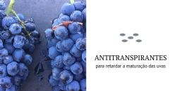 Aplicação de antitranspirantes para retardar a maturação das uvas: um projeto em estudo