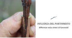 Influenza del portinnesto sul metabolismo secondario di uve Pinot nero