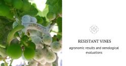 "First agronomic evaluation of ten resistant vines in the environment of ""Castelll Romani"""