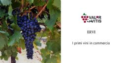ERVI, finally the first wines available on the market
