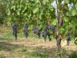 The Ervi vine plant