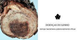 Potencial ferramenta para o biocontrolo das doenças do lenho na vinha