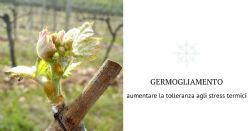 Il germogliamento: fase cruciale per ottenere uve e vini di qualità
