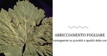 Conseguenza della presenza di alcuni virus sulla produzione di uve Sangiovese