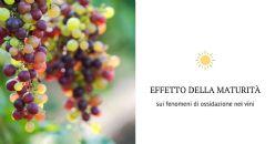 Lo stato di maturità dell'uva determina la comparsa di note di ossidazione nel vino