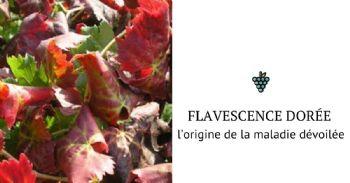 Flavescence dorée de la vigne en Europe : l'origine de la maladie dévoilée