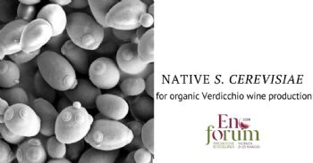 Native Saccharomyces cerevisiae strains tailored for organic Verdicchio wine production