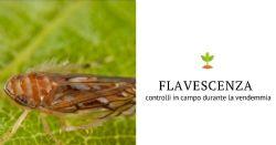 Flavescenza dorata: controlli in campo durante la raccolta