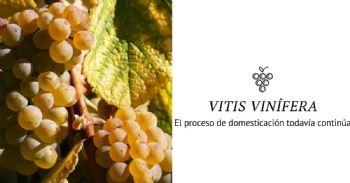 Descubiertos los 'eslabones perdidos' de la viticultura