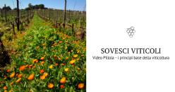 I sovesci in viticoltura - Video Pillola