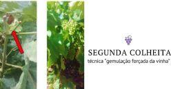 """Otimização da técnica """"gemulação forçada da vinha"""" para obtenção de uma segunda colheita"""