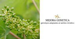 Estrategias de mejora genética de la vid para vinificación