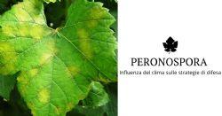 Peronospora della vite, la difesa al tempo del climate change