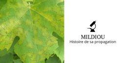 Revue de Presse - Comment le mildiou de la vigne a envahi les vignobles : retour sur son voyage depuis l'Amérique du Nord