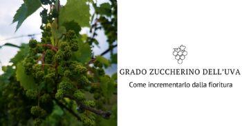 Vite da vino: il grado zuccherino dell'uva si incrementa dalla fioritura