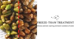 Freeze-thaw treatment to enhance phenolic ripening and tannin oxidation of seeds in red cultivars