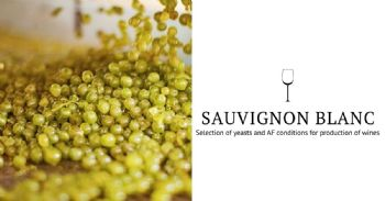 Selection of Yeasts and Fermentation Conditions for the Production of Sauvignon Blanc Wines