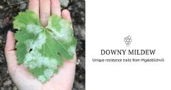 Unique resistance traits against downy mildew from the domestication center of grapevine